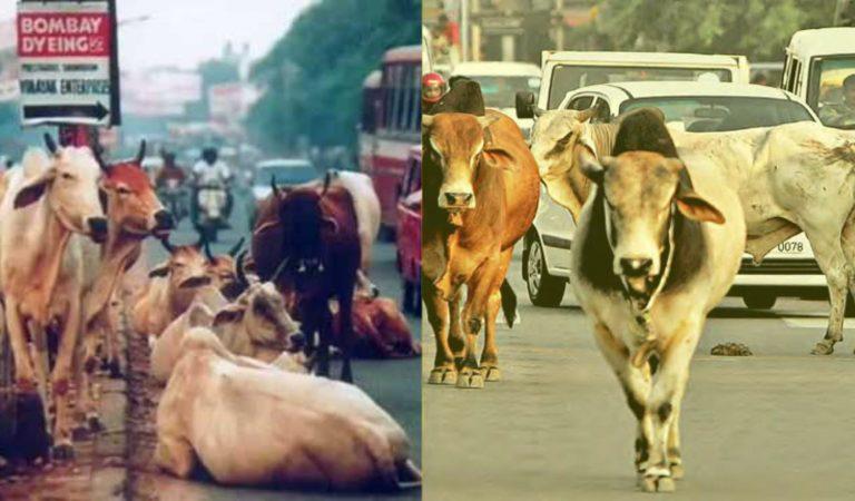 संसद से सड़क तक, हर गलियारे में गाय !